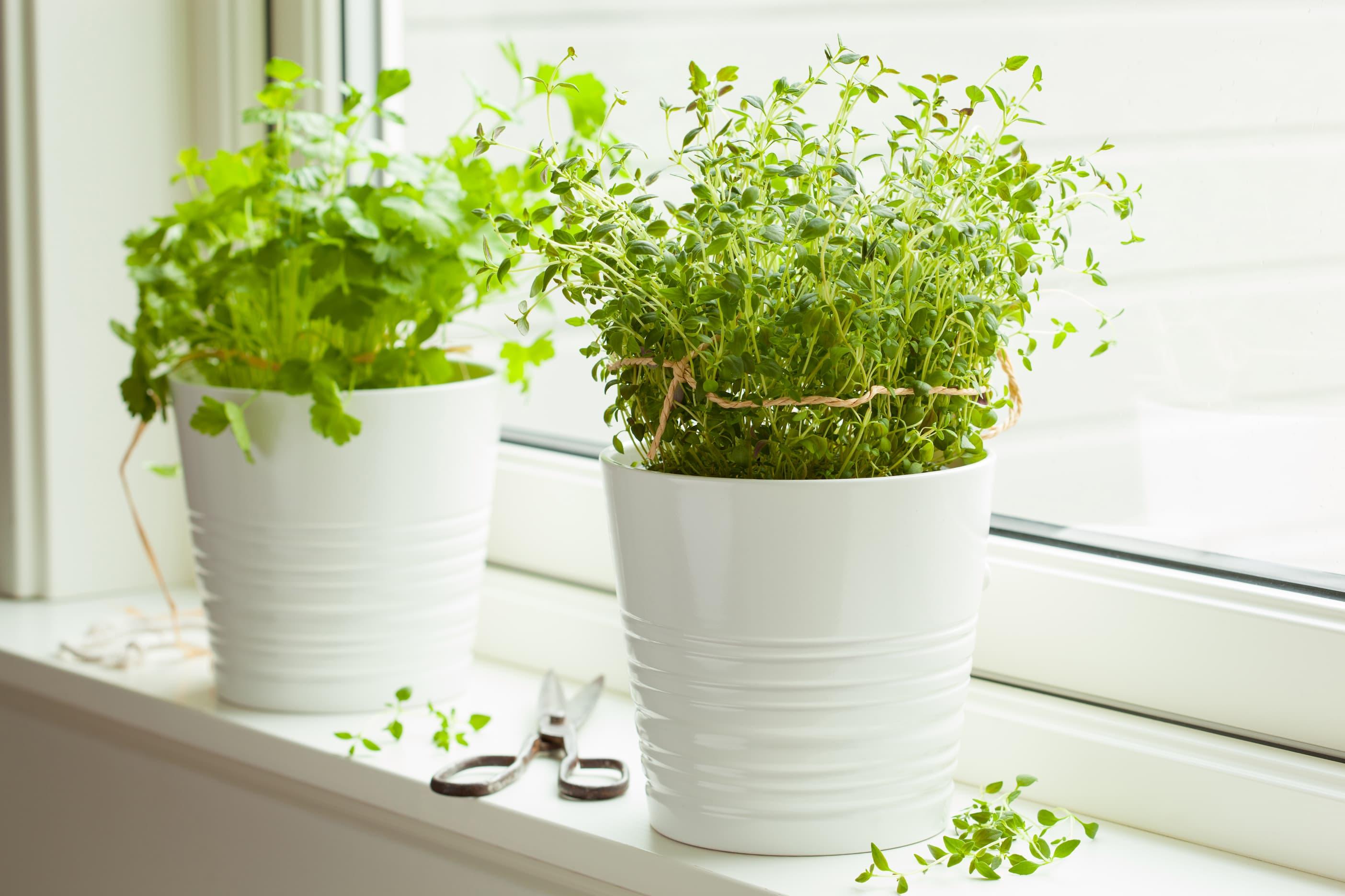 איך לגדל צמחי תבלין